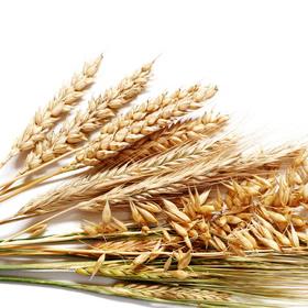 ウィートジャームオイル(小麦胚芽油)の写真